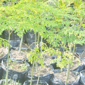 Moringa Tree