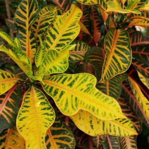 Croton Plant