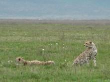 Cheetah, Tanzania