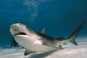 鯊魚 | 瀕危絕種動物