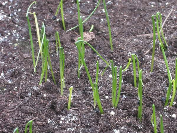 Лук слизун выращивание и уход Лук слизун выращивание из ...