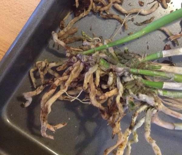 Брассавола узелковая нодоза уход и выращивание Брассавола ...