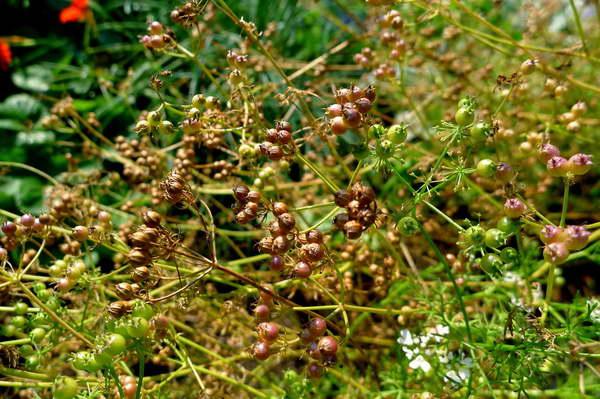 Выращивание кинзы из семян, рекомендации начинающим огородникам. Кориандр: выращивание из семян и уход за растением