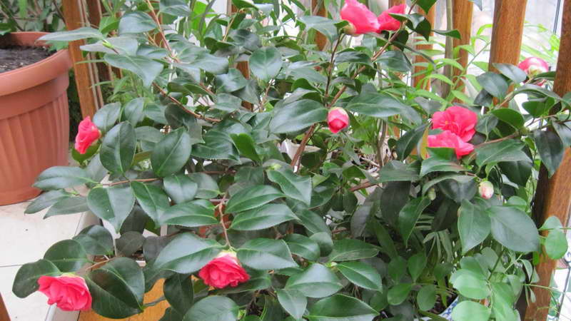 Care and cultivation of room camellia  Care Camellia