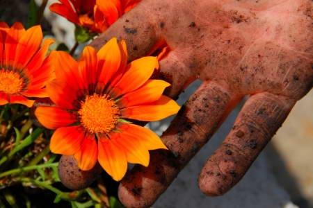 Цветок гацания многолетняя посадка и уход в открытом грунте фото