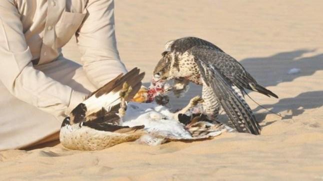 جبهة البوليساريو تستضيف أمراء قطريين لممارسة صيد طائر الحبار بالصحراء..