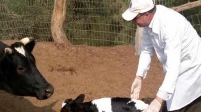 مخاوف كبيرة في المغرب.. والحمى القلاعية تحصد أكثر من 400 رأس من الماشية..