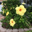 Wonderful Hibiscus plant in Laguna Niguel, Southern California.