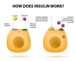 How does insulin work? Insulin regulates the metabolism and is the key that unlocks the cell's glucose channel to let the glucose molecules into a cell