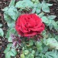 Beautiful flora, Regents Park. London UK