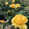 Beautiful flora. Regents Park, London UK