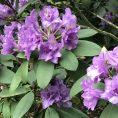 Beautiful flora in Regents Park, London.