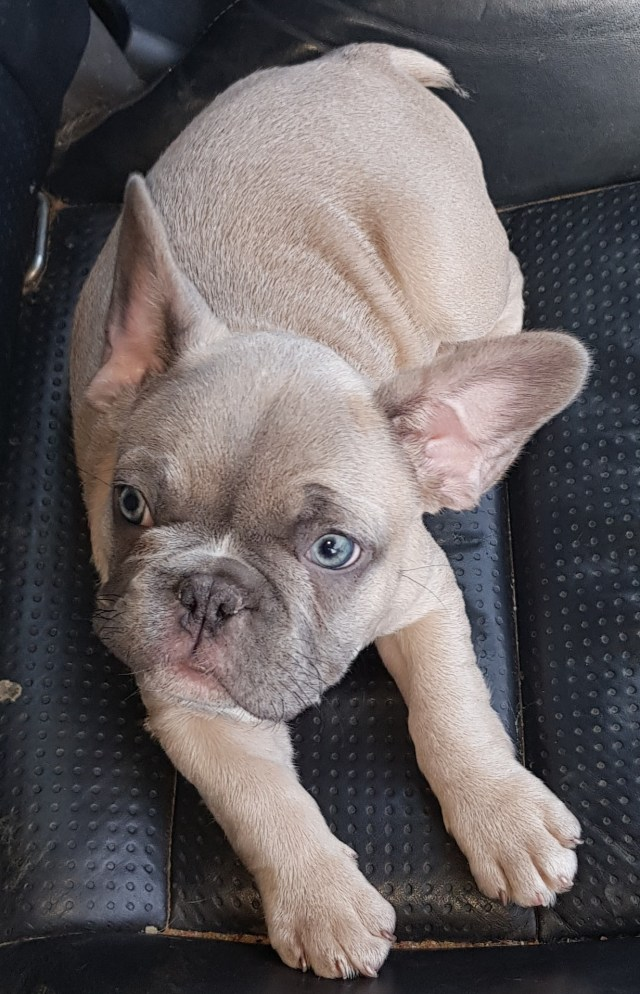 french bulldog breeder chubbachops 107 – chubbachops