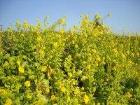 神田川の菜の花