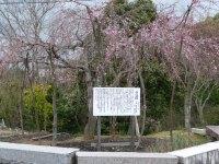 風に揺れる三春の瀧桜(熊野神社)