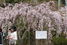 三春の瀧桜を見てきました。