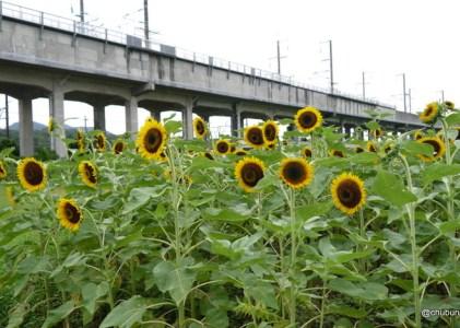 JR厚東駅とひまわりの花