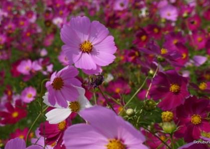 人生は短い。花の命はもっと短い。生駒高原へコスモスを見に行ってきた。その2
