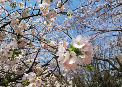 戦場ヶ原の桜2020
