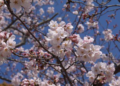 須恵健康公園の桜2020(山陽小野田市)