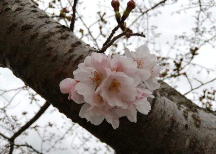 一の坂川の桜を見てきました。