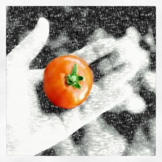 tomatos17_17