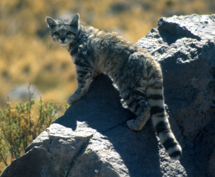 Andean-Mountain-Cat-934x