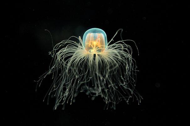 immortal-jellyfish-turritopsis-nutricula-3