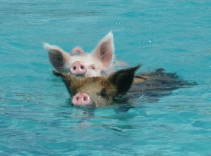 Свиньи в воде-12