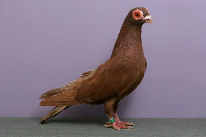 domashniy-golub-33