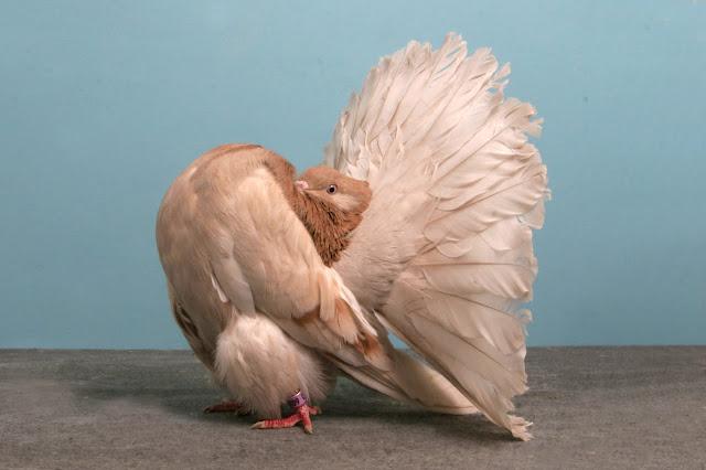 domashniy-golub-34