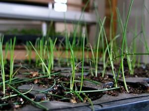 Лук-порей и то как сажать лук-порей на своем огороде ...
