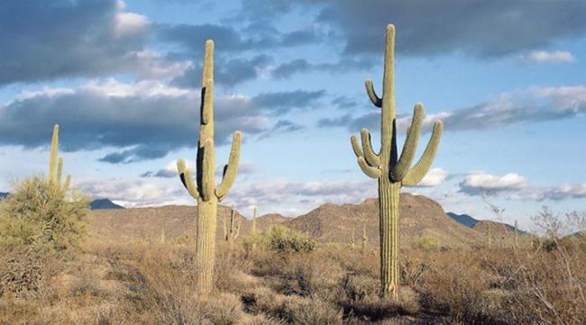 Пустынные кактусы  уход