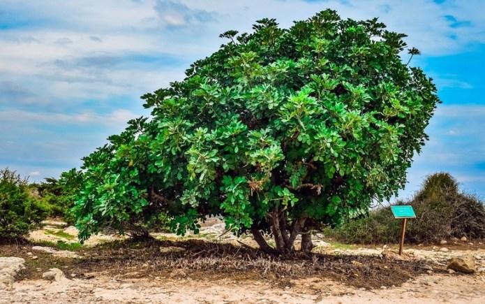 Библейские растения