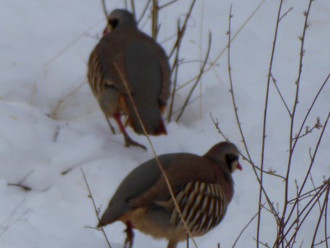 Two of the hungry chukar