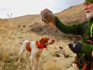brittany chukar hunting