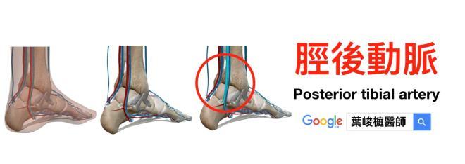 脛後動脈 (Posterior tibial artery)