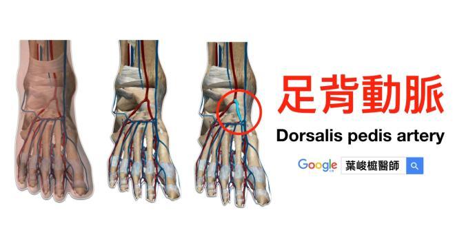 足背動脈 (Dorsalis pedis artery)