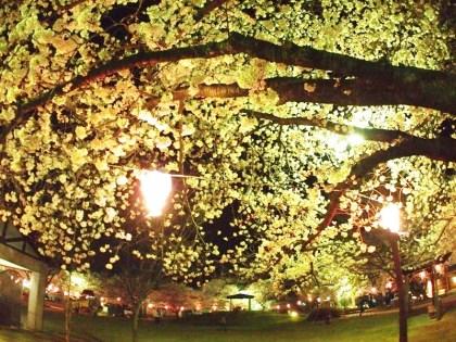 戸倉上山田温泉中央公園桜満開
