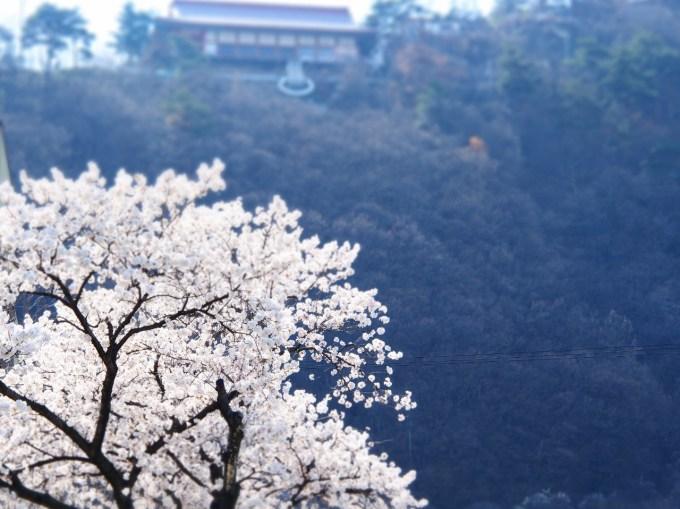千曲市桜の名所戸倉上山田温泉中央公園