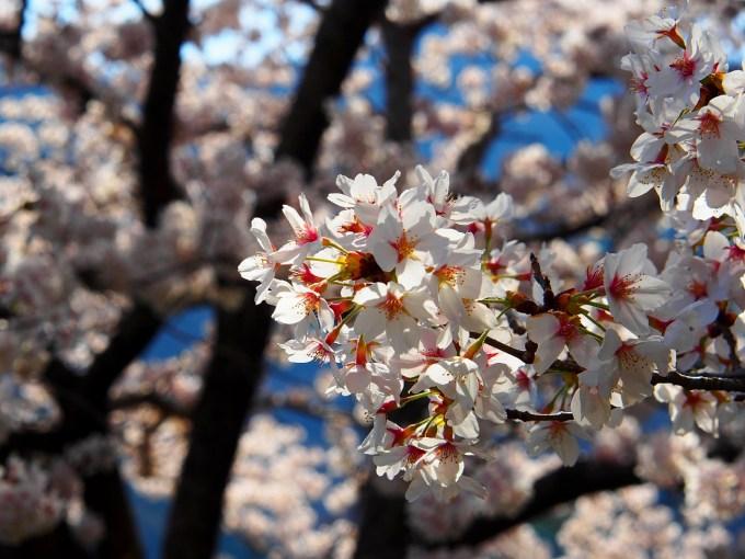 長野県千曲市城山史跡公園荒砥城跡春桜