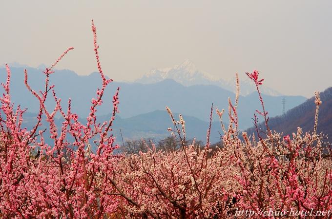 長野県千曲市あんずの里あんず開花