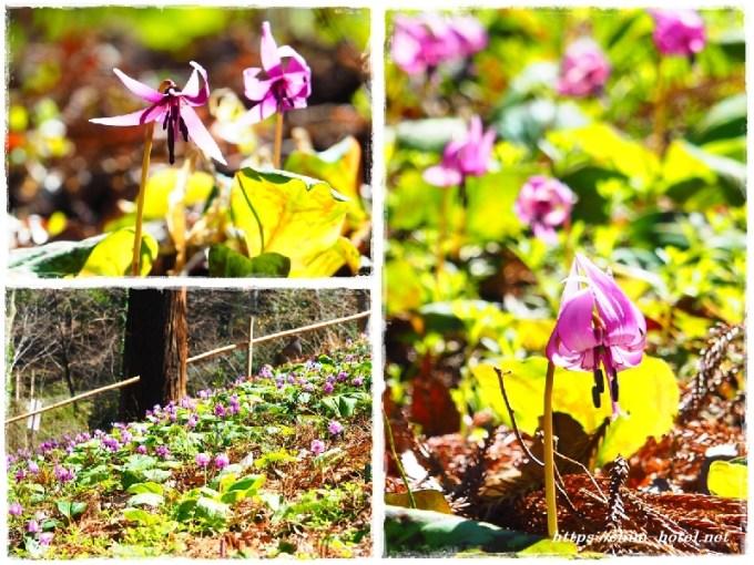 佐良志奈神社カタクリの花満開