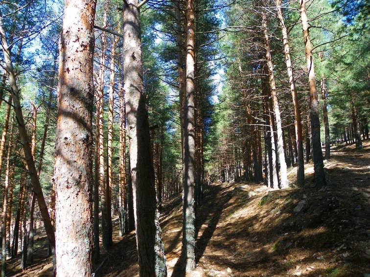 zona repoblada de pinos en el monte abantos