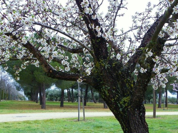 almendro en flor en el parque juan carlos I