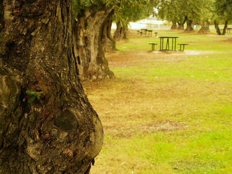 tronco maduro de un olivo del olivar de la hinojosa