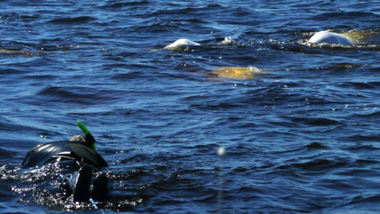 Snorkeling with beluga whales in Hudson Bay is an exhilarating experience!
