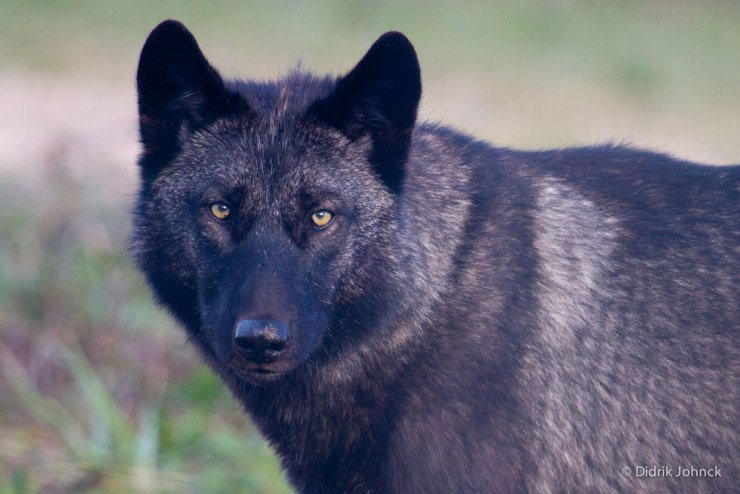Wolf up close at Nanuk.