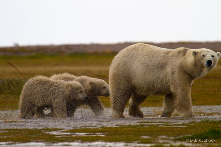 Mom and cubs at Nanuk Polar Bear Lodge. Didrik Johnck photo.