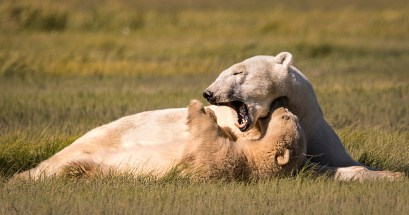 Polar-Bear-Mom-and-Cub-cuddle-nanuk-polar-bear-lodge-Ann-Fulcher